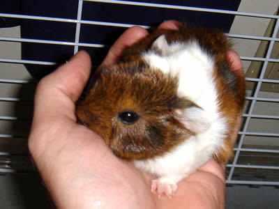 Guinea Pig Size Guide