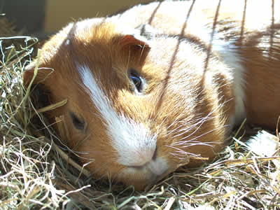 A guinea pig lying on hay