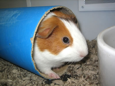 A guinea pig in a cardboard tunnel