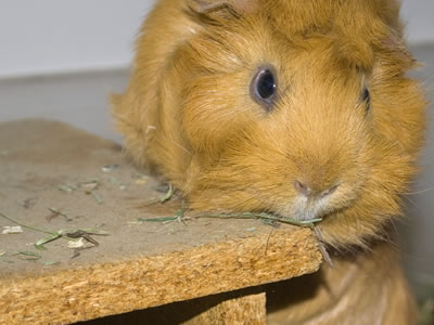 A guinea pig using a wooden house as a makeshift chew toy