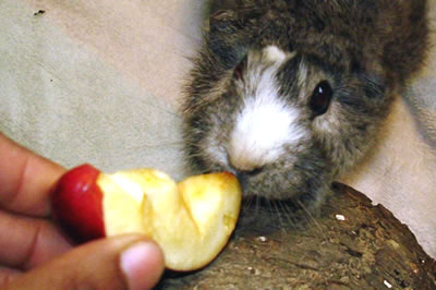 A guinea pig being fed a piece of apple