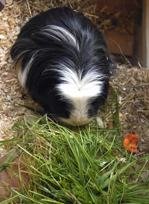 A guinea pig eating grass in his cage