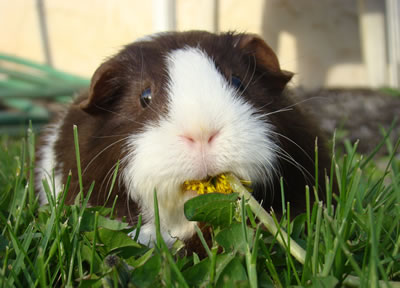 A guinea pig being eating grass and dandelions