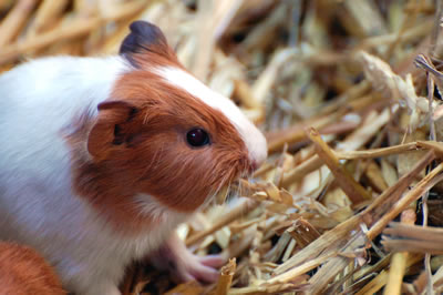 A guinea pig being eating hay
