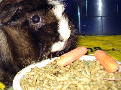 A guinea pig eating dry food pellets