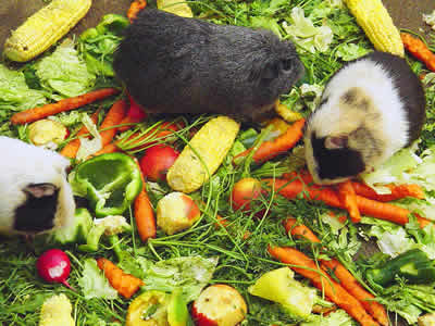 Three guinea pigs eating a pile of vegetables