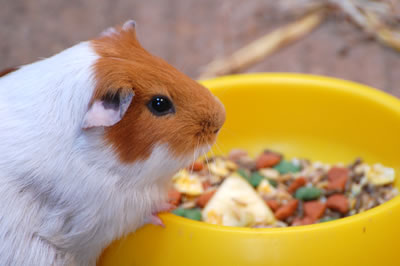 Guinea Pig Eating Food Bowl