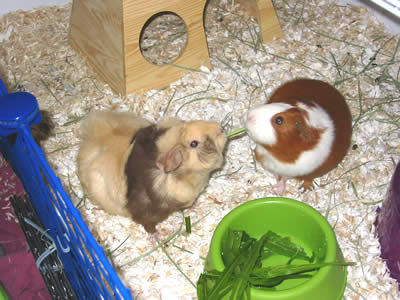 Two guinea pigs fighting over a piece of food