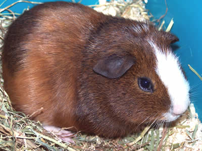 A fully grown guinea pig sitting on hay