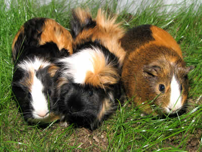 A group of three guinea pigs