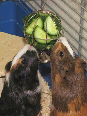 A hanging ball containing cucumber as a treat