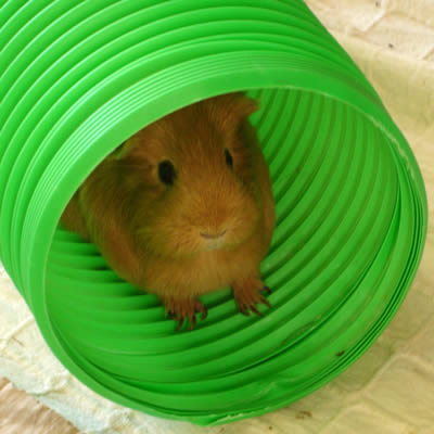 A guinea pig hiding in a tube