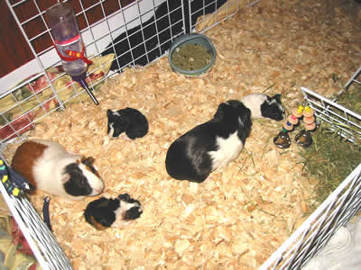 A family of guinea pigs in a large C&C cage
