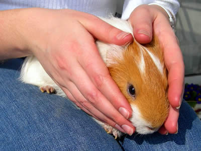 A guinea pig sitting on a woman's lap