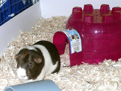 A guinea pig coming out of a plastic igloo