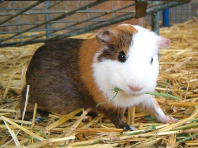 A guinea pig pup eating hay