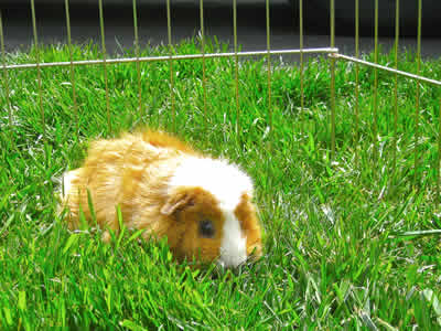 A guinea pig eating grass in a run