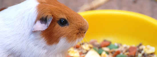 Guinea pig eating from yellow food bowl