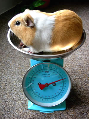 A guinea pig being weighed in a set of kitchen scales